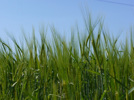 Barley canopy close up from the ground up.jpg